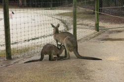 Kangaroos feeding their babies <3